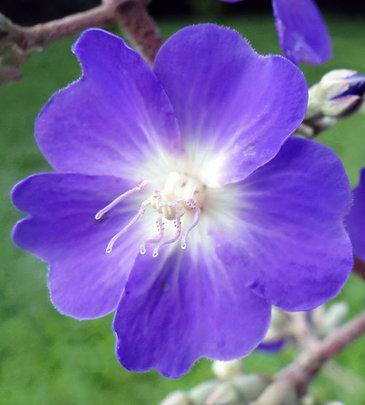 Purple Hummingbird Flower