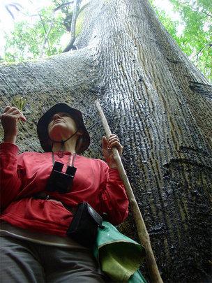 Papa Loco 300 yr. old Kapok tree