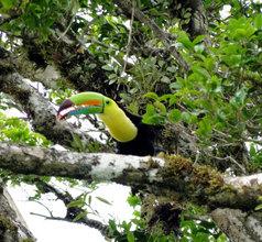 Toucan Sam at La Reserva