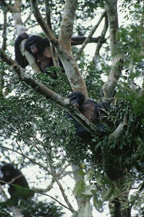 Kokolopori bonobos