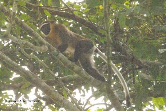 The Critically Endangered Salongo monkey
