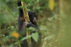 A Kokolopori bonobo