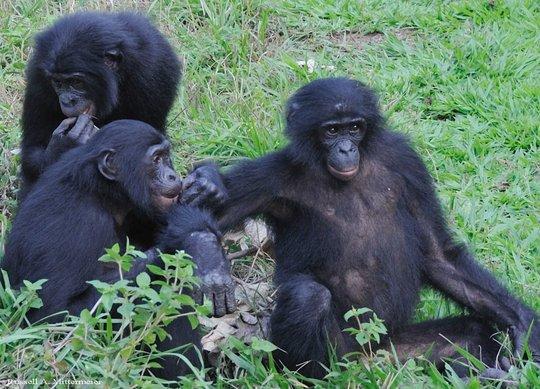 Bonobos at play in Sankuru