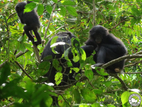 Bonobos at Kokolopori, April 2015