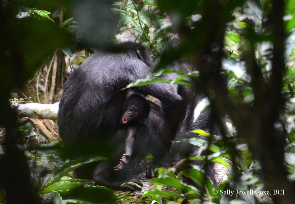 Baby bonobo expressing himself