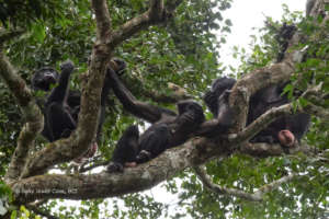 Female bonobos from the Ekalakala group