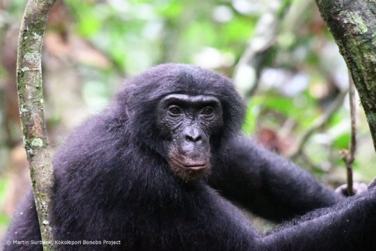 Ray, Nkokoalongo bonobo group