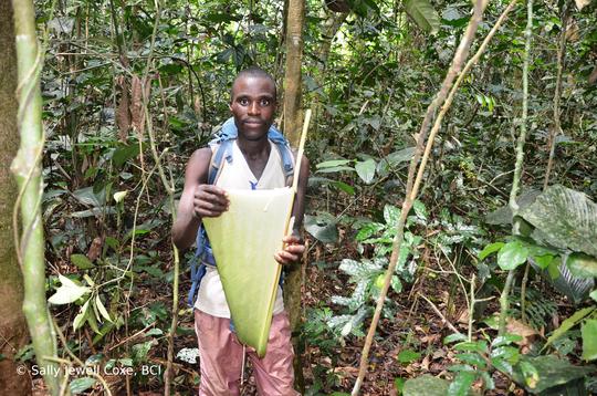 "Tracker, Dadi Bahandjoa, displaying ""beya"" leaf"