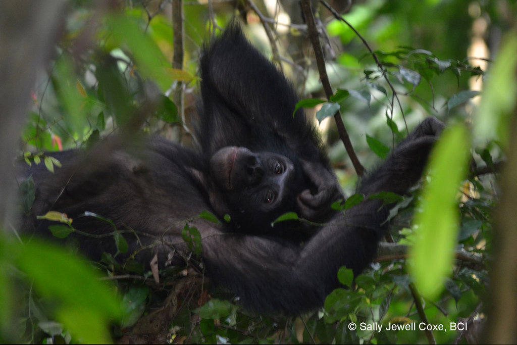 Female bonobo, resting just before giving birth