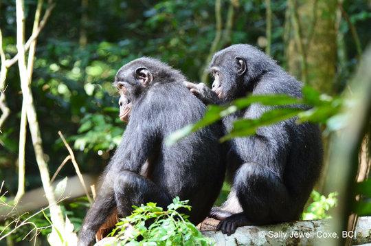 Bonobos grooming at Kokolopori