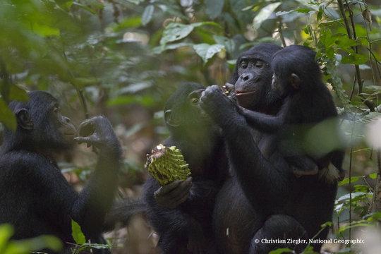 Bonobos eating bolingo fruit