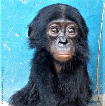 Recently rescued baby bonobo Esake
