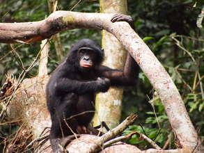 Lilungu bonobo