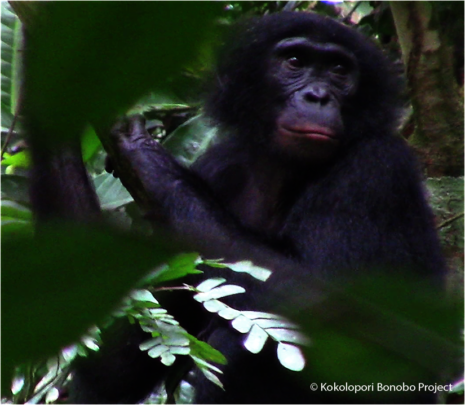 Meet Yangtze. Bekako bonobos are named for rivers