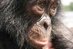 Bonobo Profile
