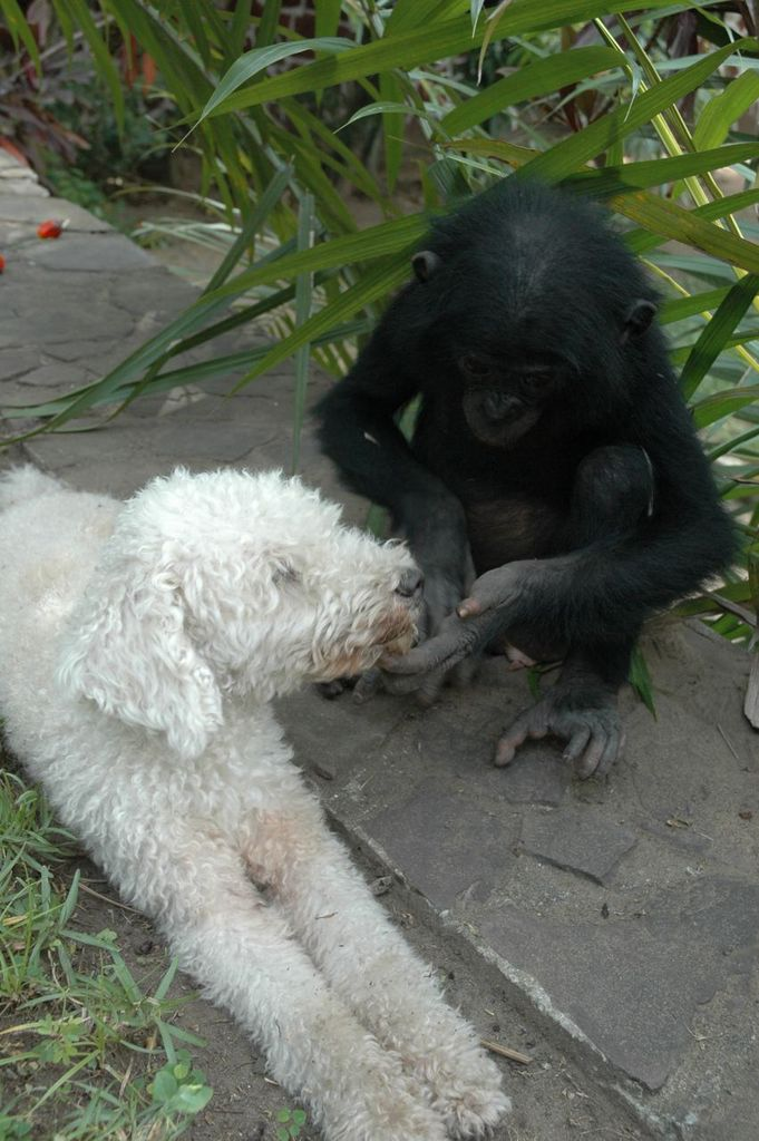 Bonobo orphan