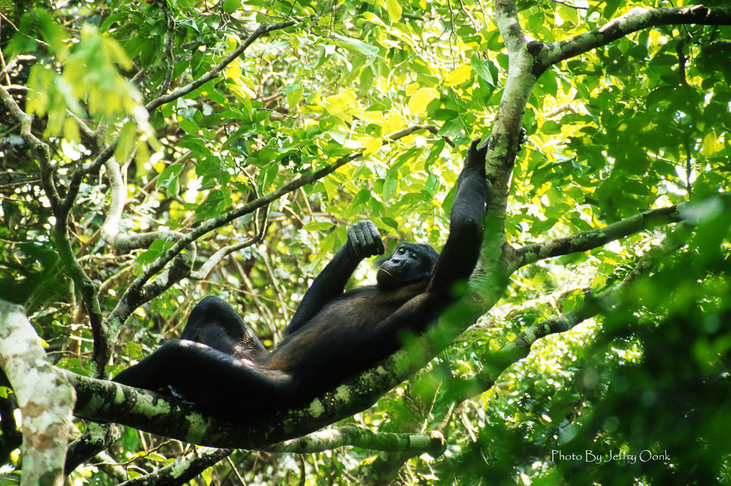 Save Endangered Bonobos in the Congo Rainforest