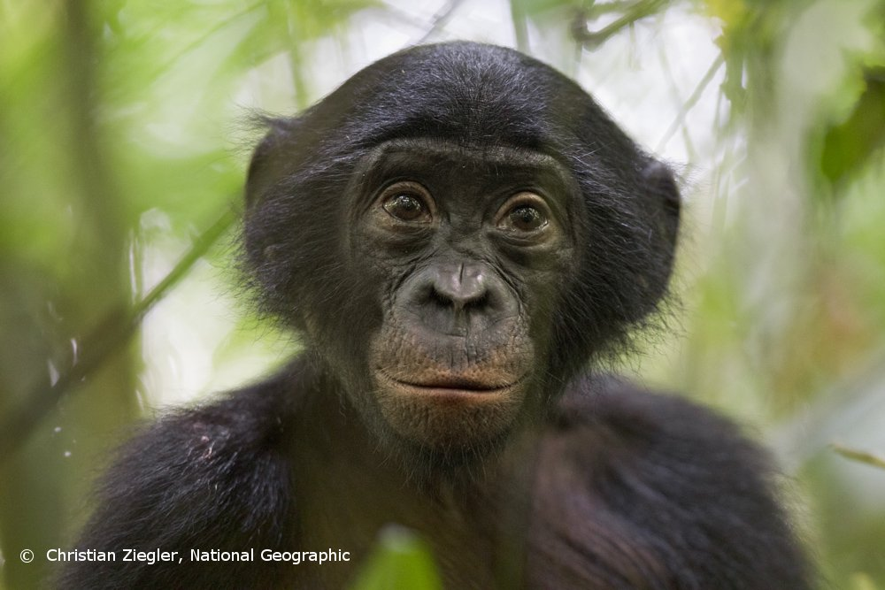 Save Endangered Bonobos in the Congo Rainforest