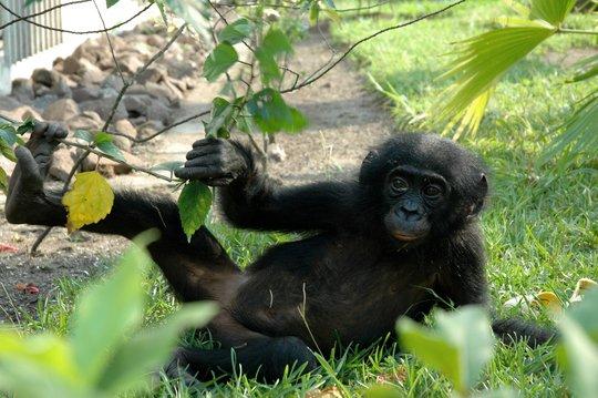 Young bonobo relaxing