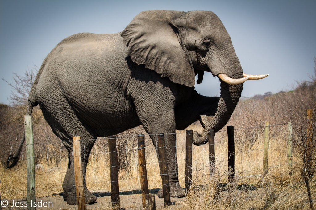 Elephant crossing the fence