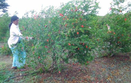 Manisha at her pomegranate farm