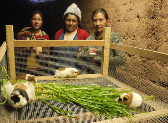 Guinea pigs settling into their new home