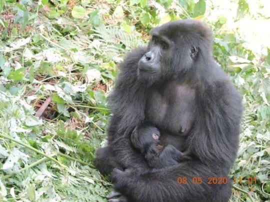 Adult female from Muyambi gorilla group in Bwindi