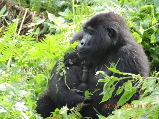 Adult female Kabagenyi from Bwindi with her baby