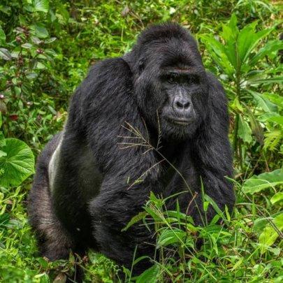 Rafiki. Photo by Uganda Wildlife Authority