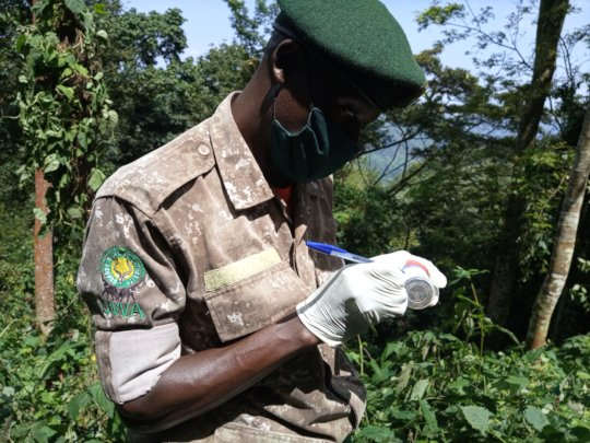 Gorilla fecal sample collection in Mubare group