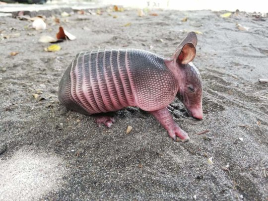 Armadillo ready for release
