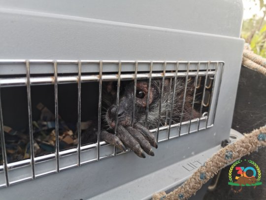 Liberation of spider monkeys