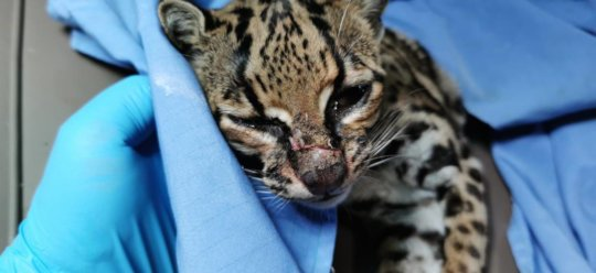 Margay recuperated