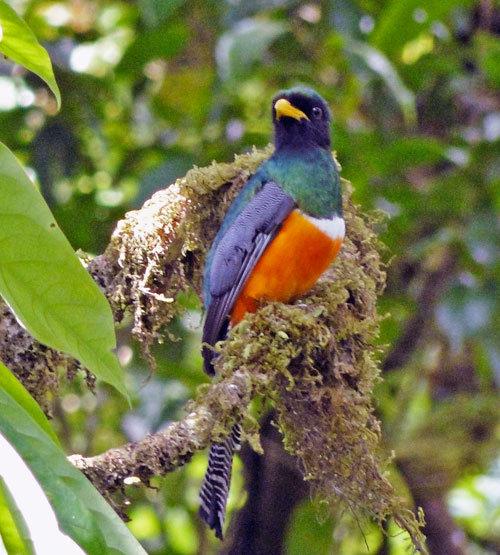 Male Trogon near La Reserva