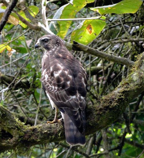 Hawk at La Reserva