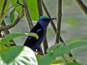 Honeycreeper, a beneficiary of our work