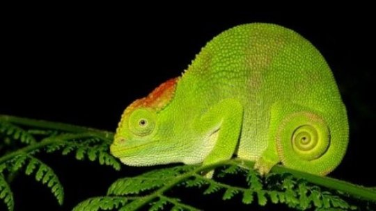 Nadzikambia - the Mulanje mountain chameleon