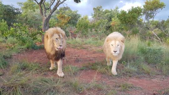 Our lions in Bela-Bela!