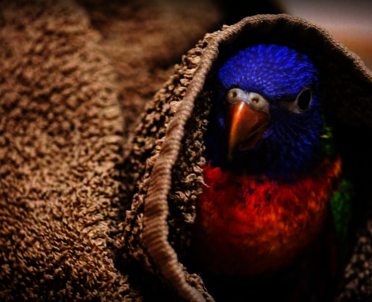 Rescued Rainbow Lorikeet