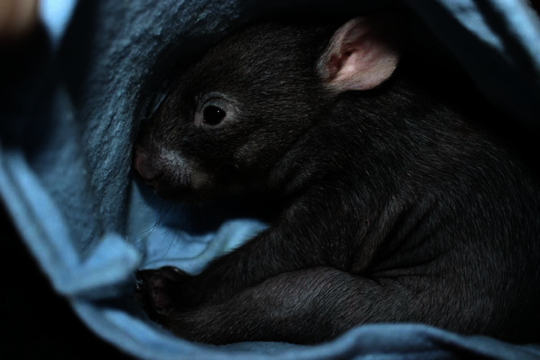 Orphaned wombat joey in care with WIRES