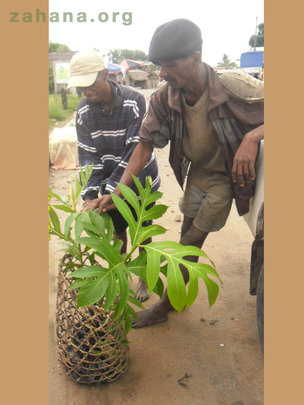 Breadfruit seedling on the way to the village