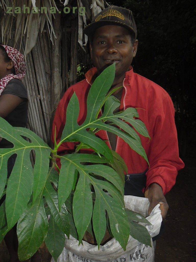 Breadfruit seedling at the nursery