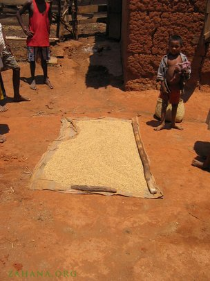 Drying rice after harvest in the village
