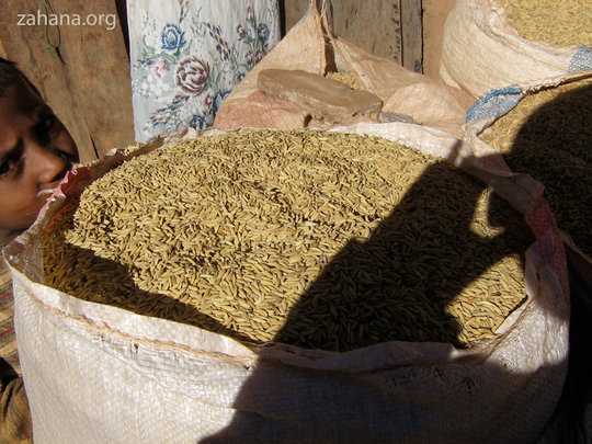Harvested rice - hulls are the coatings of seeds