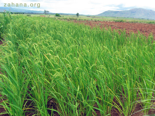 Rice harvest promises to be successful