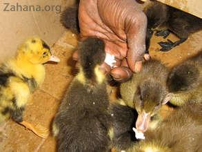 Feeding the new ducklings