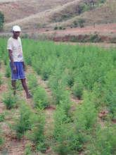 Master gardener Jean in his Artemisia field