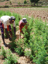Artemisia farmers