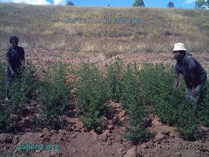 Artemisia annua grown in Madagascar Sept. 28, '14