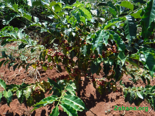 Coffee cherries ripening (red)